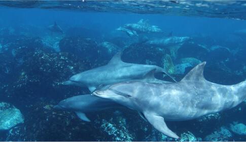 岸の近くの浅瀬で、ミナミハンドウイルカと泳ぐことができます。